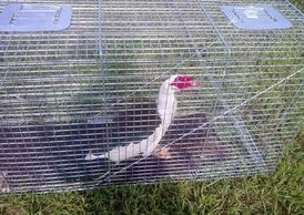Muscovy duck trapping, Muscovy duck removal, mallard duck trapping, duck netting, Goose Removal