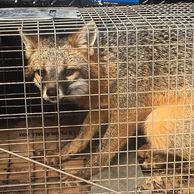 Fox Removal Jacksonville FL. Nuisance animal trapping.