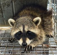 Jacksonville Raccoon Removal. Animal Removal Jacksonville. Raccoon Poop in attic. Raccoon Cleanup