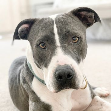 pitbull rescue dog rescue pitbull scottsdale az phoenix dog rescue pitbull rescue dog az rescue pit