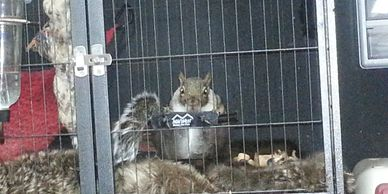 Jasper is not a PET by any means. He was a WILD Adult male squirrel when  he was hit by a car. He do