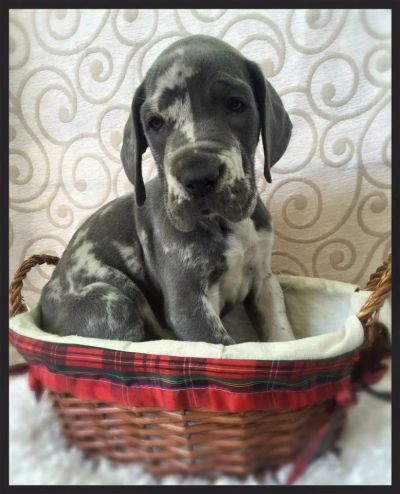 european great dane puppy, blue merle