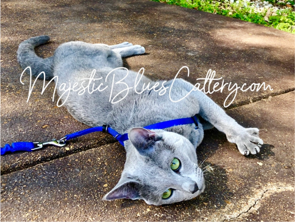King enjoying the sun with those emerald green Russian Blue eyes