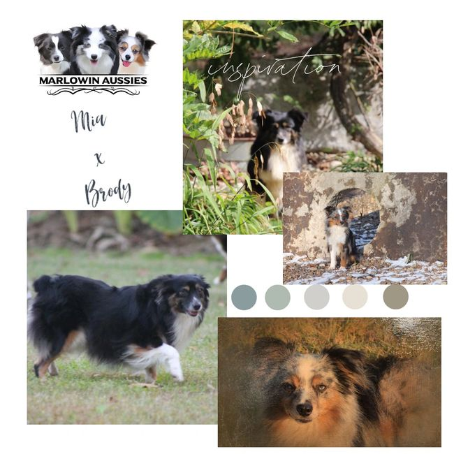 toy australian shepherd puppies litter announcement.  Black tri toy aussie and blue merle toy aussie
