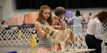 Red merle toy aussies being show at AKC Fun Match in Owensboro Kentucky