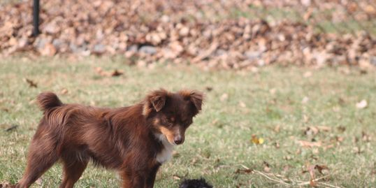 Reynolds Lil Luke red tri toy aussie