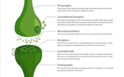 CBD works in Endocannabinoid system.  CBD receptors support balance CB1 and CB2 receptors for health