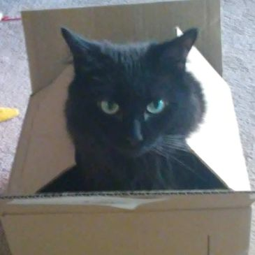 My Cat Dickens In Amazon Box