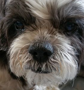 Shih tzu face, love your dog, jerky treats for dogs, true love
