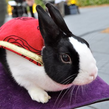 Dutch rabbit wearing red and gold cape.