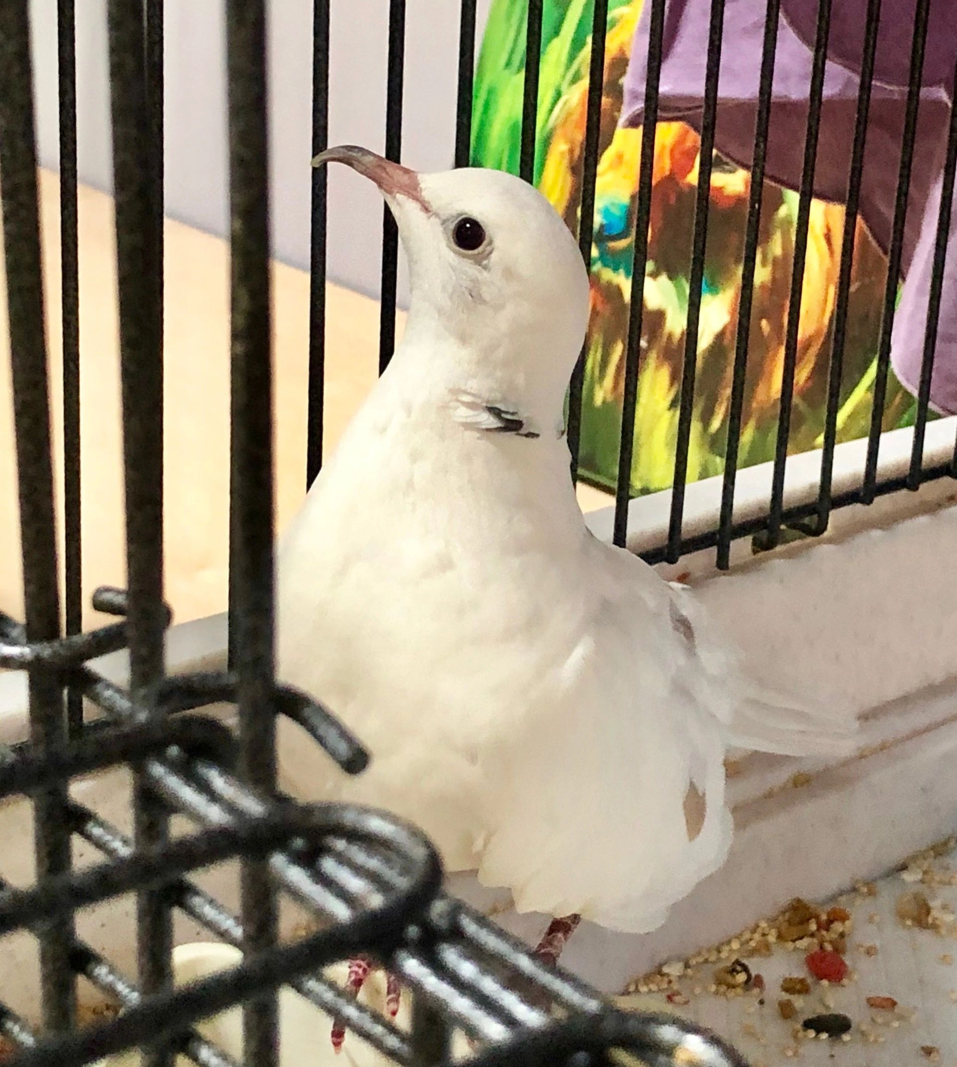 "{""blocks"":[{""key"":""6arbp"",""text"":""This is \""Morning Glory\"" an 18 year old Dove who was surrendered due to their owner's deployment. You can adopt this sweet bird for only a $10 donation at the Capital Area Humane Society. Call  517-626-6060 or go to  http://cahs-lansing.org/ for more details."",""type"":""unstyled"",""depth"":0,""inlineStyleRanges"":[],""entityRanges"":[{""offset"":216,""length"":24,""key"":0}],""data"":{}}],""entityMap"":{""0"":{""type"":""LINK"",""mutability"":""MUTABLE"",""data"":{""href"":""http://cahs-lansing.org/"",""url"":""http://cahs-lansing.org/""}}}}"