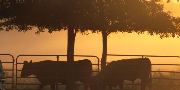 East Texas cows at dawn, coming out of the fog.