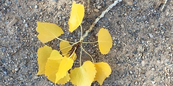 Beautiful cotton wood leaves in the fall at Ghost Ranch, New Mexico.