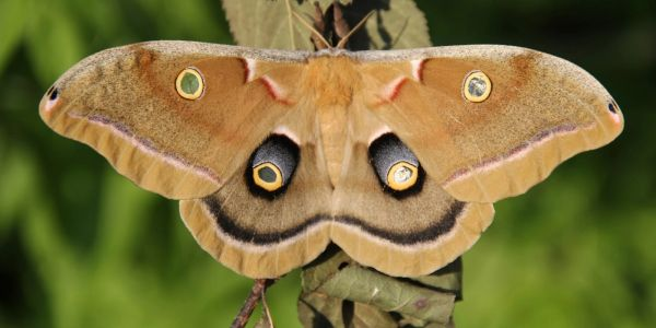 Example of false eyes on a moth