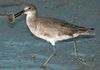 Willet with Horseshoe Crab