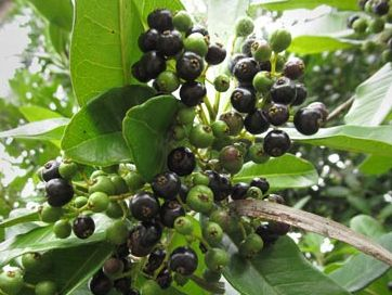The Allspice Berry - growing on its Pimento Tree