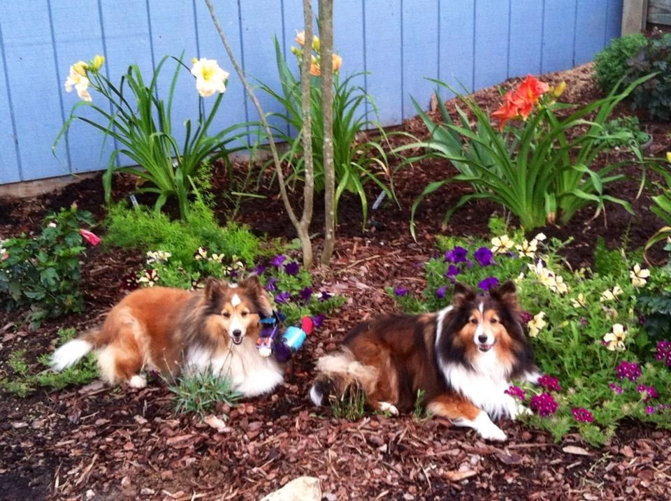 FPF Foundation AKC Toy Shelties Cassie and Bella