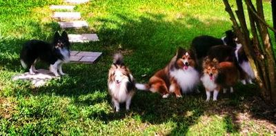 Toy Shelties lounging in the sun, Coco, Honey Bunny, Cassie, Flopsy, Julie and Bullet.
