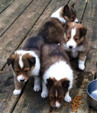 A beautiful litter of sable AKC Toy Sheltie puppies, Chrystie/Bullet litter on our porch.