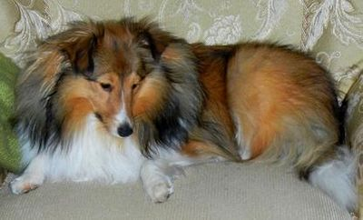 AKC registered Toy Sheltie Precious, a Cassie/Frosty daughter.