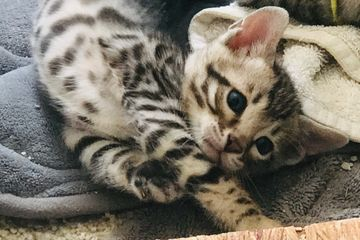 Sweet Bengal kitten in his new home. This cute Bengal kitten sold in San Diego