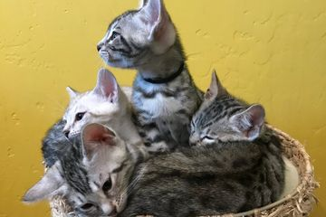 Adorable Bengal kittens. Purebred early generation Bengal cats for sale in San Diego.