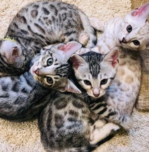 Adorable, Bengal kittens for sale. Silver, seal mink, lynx, charcoal, and all with stunning rosettes