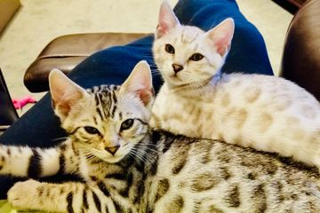 Sweet, adorable, beautiful Bengal Kitten sisters from Exotic Bengals of San Diego. Bengal cats