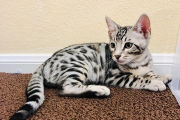 Bengal kittens for sale by Exotic Bengals of San Diego. You can post your Bengal kitten here too.