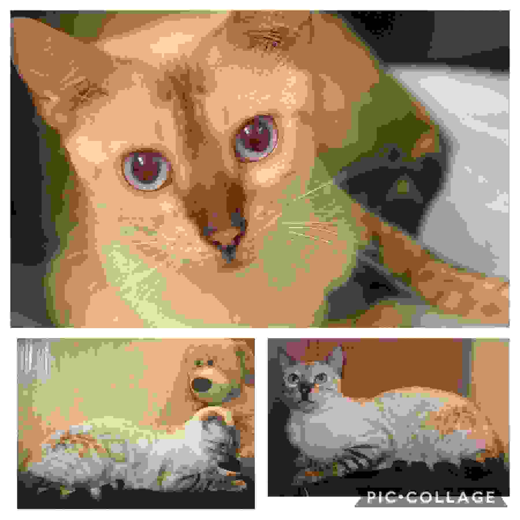 Snow lynx Bengal kittens for sale by Exotic Bengals of San Diego #ExoticBengalSD