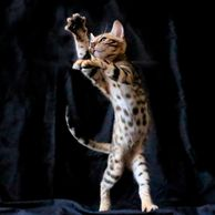 Beautiful brown Bengal kittens are wild and playful and wonderful.