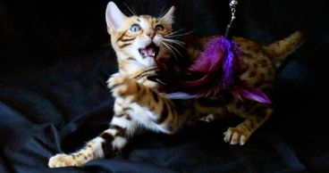 Bengal cats and Bengal kittens are  spunky and wild. Exotic Bengals of San Diego sells Bengal Kitten