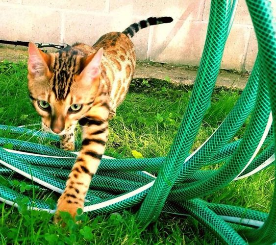 Contact Us | Exotic Bengals of San Diego