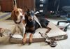 Jasper the North American Fighting Beagle and Sailor the Doberman provide Discovery with all its security needs.