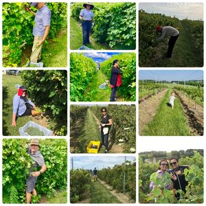 grape harvesting with Friends and Family