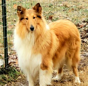Lassie, our pure sable female collie.