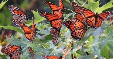 'Millions and millions' of Monarch butterflies coming to the Carolina's this spring?