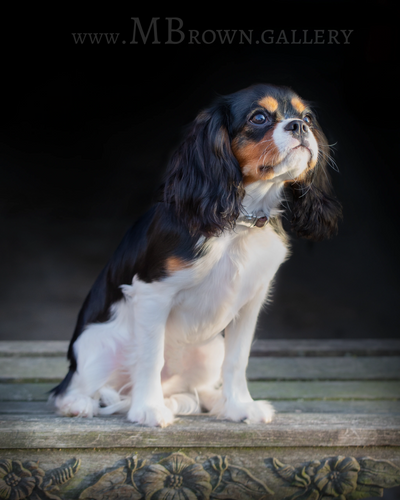Charlie 6 month old King Charles spaniel