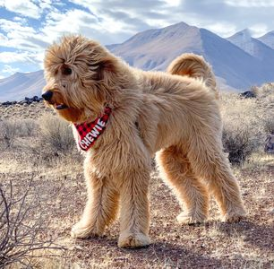 Goldendoodle Chewie at Fossil Falls in the Eastern Sierras.