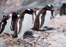 Gentoo penguins & chicks - Antarctic