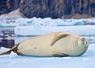Seal, floating Iceberg - Antartica