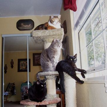 a calico, gray tabby and 2 black cats sitting on a cat tree in front of a window with a mirror on the side
