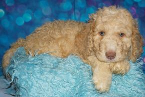 labradoodles available in California labradoodle puppies available in Southern California