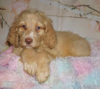 labradoodle puppies for sale in Southern California labradoodles in Southern California