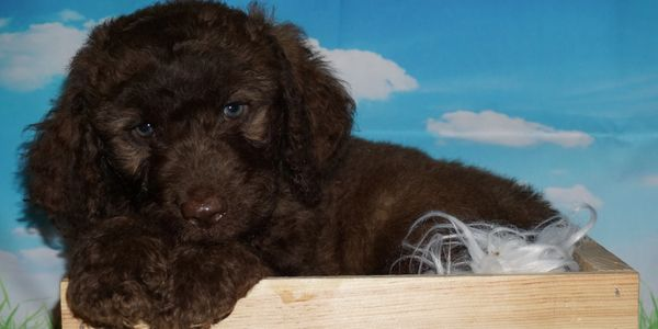 labradoodle puppies for sale in Southern California. Labradoodles for sale in California