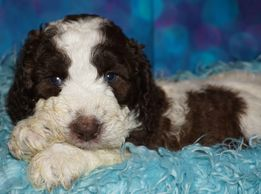 labradoodles for adoption in California labradoodle puppies for adoption in Southern California