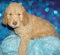 labradoodles for sale labradoodle puppies for sale in Ventura labradoodles for sale in Los Angeles