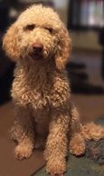 labradoodle puppies in Orange County
