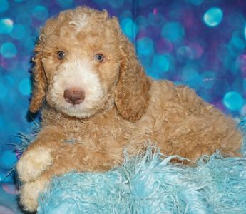 labradoodle puppies for sale in West Hollywood  Labradoodle puppies for sale in Riverside