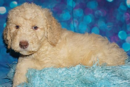 labradoodle puppies for sale in San Diego Labradoodle puppies for sale in Las Vegas